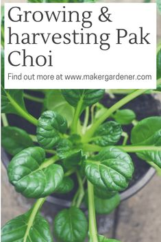 Grow and Harvest pak choi at home. Great to grow in autumn and spring season. They are relatively easy to grow just need to protect them from slugs. Growing Vegetables At Home, Planting Vegetables, Vegetable Garden, Pak Choi, Backyard Layout, Garden Boxes, Edible Garden, Plant Based Recipes, Compost