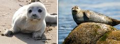 Harbor Seals | Community Post: 15 Animals Who Wish They Were Still This Cute