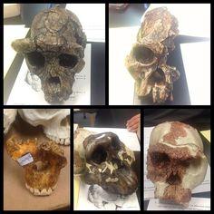 Paleoanthropology Lab: Ape, Sahelanthropus, Austrolopithecus, Paranthopus, and Homo