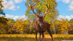 deer wallpaper free by Pollard Cook Hirsch Wallpaper, Deer Wallpaper, Animal Wallpaper, Nature Wallpaper, Stag Deer, Deer Antlers, Animals Beautiful, Cute Animals, Wild Animals