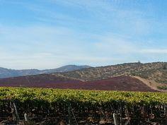 Chilean vineyard