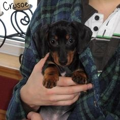 crusoe celebrity dachshund puppy picture