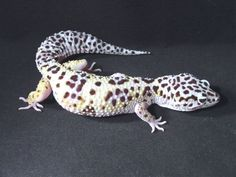 The breed of my lovely gecko