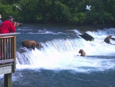 Bear Viewing @ Brooks River Falls, Alaska