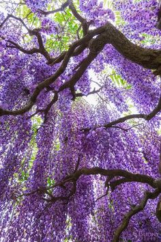 Wisteria bloom canopy - by Christopher Budny Wisteria Garden, Wisteria Tree, Purple Wisteria, Purple Trees, Wisteria Tunnel, Wisteria Wedding, Beautiful Flowers, Beautiful Places, Tree Leaves