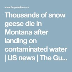 Thousands of snow geese die in Montana after landing on contaminated water | US news | The Guardian