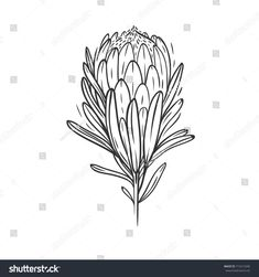 Find Hand Drawn Illustration Protea Flower Isolated stock images in HD and millions of other royalty-free stock photos, illustrations and vectors in the Shutterstock collection. Thousands of new, high-quality pictures added every day. Protea Art, Protea Flower, Line Drawing, Line Art, Watercolor Art, Hand Drawn, Claire, Vodka, Jet