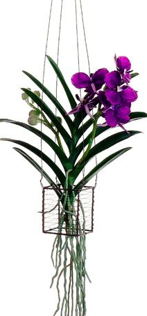 Beautiful pre-made hanging basket arrangement of vanda orchids in violet. These bright and vibrant violet orchids will be perfect for bringing cheer to your home decor or special events. The perfect centerpiece that can stand on its own for a colorful and simple display!