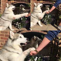 """""""Post your PAWBUMPS to show your for us! We adore seeing them! Blue Cross, Husky, Pets, Twitter, Animals, Animales, Animaux, Animal, Animais"""