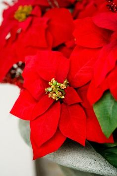 """During the holidays, Poinsettias are a popular Christmas plant. Though they have a bad rap, poinsettia (Euphorbia pulcherrima) plants are only mildly toxic to cats and dogs.  When ingested, mild signs of vomiting, drooling, or rarely, diarrhea may be seen.  While poinsettias are commonly """"hyped"""" as poisonous plants, they rarely are, and the poisoning is greatly exaggerated. So buy yourself a Poinsetta and enjoy their beauty!"""