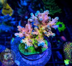 RR Canada Jaw Dropper would get this but its 2000 for just one frag Saltwater Aquarium Setup, Coral Reef Aquarium, Saltwater Tank, Marine Aquarium, Aquarium Fish, Coral Frags, Sps Coral, Coral Reefs, Reef Tanks
