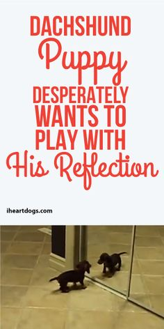 Dachshund Puppy Desperately Wants To Play With His Reflection!