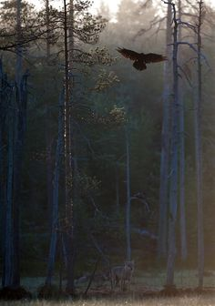 sisterofthewolves: Picture by Mika Pulkkinen Two wolves at dawn and one raven landing on an old tree.