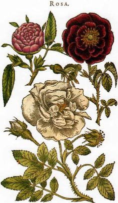 Picturing Plants and Flowers: Mattioli: Roses