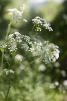 31 Best F Queen Anne S Lace Images On Pinterest Chocolat Cake