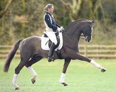 Bellissimo M, Rheinlander stallion