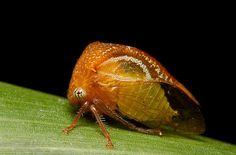 Treehopper family Membracidae