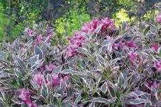 Weigela My Monet