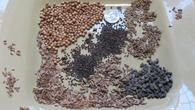 Selected Herbs for Creating a 3 B's Garden: Beneficial Insects Butterflies and Bees (Seed Packages for Sale)