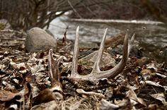 whitetail deer montana - Google Search