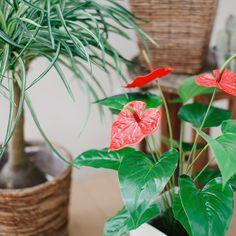アンスリウムとポニーテール . どちらも本物そっくりな光触媒フェイクグリーンです . 最初アンスリウムを見たとき赤い花がテカテカしていてビックリしたのですが本物はもっとテカテカしています . このこだわりがわかっていただけると嬉しいのですが笑 . #造花ドットコム #グリーン人工観葉植物 #グリーンのある暮らし #緑のある暮らし #フェイクグリーン #人工観葉植物 #アンスリウム #ポニーテール #トックリラン