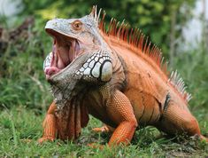 Red iguana ~ Not something I'd want to encounter while taking a walk !