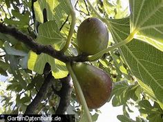 Fig (Feigenbaum; Echte Feige)  (Ficus carica) can be grown on the temperate areas of Germany (Rhine valley, Main valley around Frankfurt including Wetterau) outside, and is winter hard. http://en.wikipedia.org/wiki/Common_fig