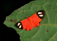 Butterflies of Amazonia - Mesene epaphus - Red Demon
