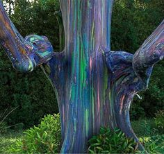 A rainbow eucalyptus from the Philippines. The wood sheds its bark in different segments of time, which gradually reveal the subsequent layers.