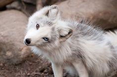 chien-loup-blanc-yeux-bleu-marron
