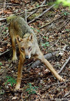 Intervention vidéo sur le Loup par Miha Krofel (anglais, sous-titré français)