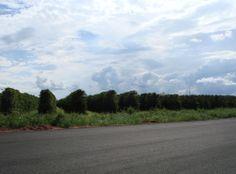 Cafezal, Araguari - MG