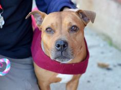 GONE --- TO BE DESTROYED 11/4/2014 Brooklyn Center-P  My name is HAZEL. My Animal ID # is A1018765. I am a female tan am pit bull ter mix. The shelter thinks I am about 8 YEARS old.  I came in the shelter as a OWNER SUR on 10/26/2014 from NY 11419, owner surrender reason stated was NO TIME.  Main Thread: https://www.facebook.com/photo.php?fbid=898419193504294