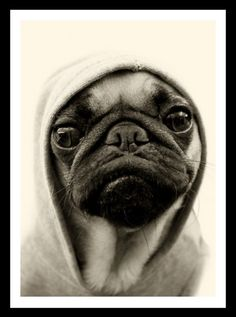 """Thug Pug. Love this. Reminds me of the one from """"Men In Black""""."""