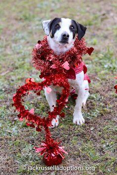 Petey, Adoptable Terrier Mix | Georgia Jack Russell Rescue, Adoption & Sanctuary