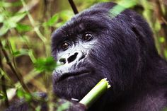 Dangerous Diet: Mountain Gorillas' Love of Bamboo Puts Great Apes in Conflict with Farmers