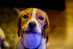 Resignation. | 13 Dogs With Bee-Stung Noses Who Are Having A Worse Day Than You
