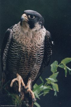 1000 ideas about falcons on pinterest peregrine falcon for Fish hawk atlanta
