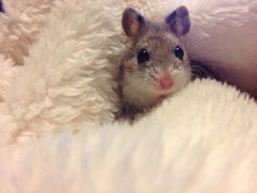 Dwarf hamster Robo Dwarf Hamsters, Funny Hamsters, Chinese Hamster, Animals And Pets, Cute Animals, Hamster Stuff, What Is Cute, Hamster Cages, Pocket Pet