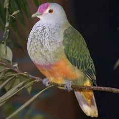 Pictures of Pigeons and Doves: Rose-Crowned Fruit-Dove