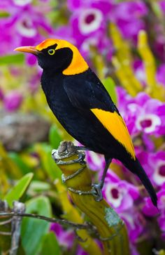 Male Regent Bowerbird. Rainforest and nearby areas, forests, scrubs, orchards along a wider coastal strip of Northern NSW and continuing about 2/3rds up along the QLD coast of Australia. The female is mottled and scalloped brown and fawn with plain brown/olive wings and tail.