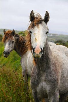 Irish horses - http://www.1pic4u.com/blog/2014/09/26/irish-horses/
