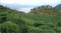 Plantation thé Yunnan