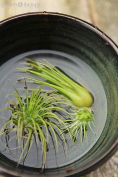 The Proper way to water air plants