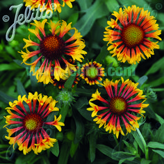 Blanket Flower Fire Wheels is a hardy, drought-tolerant annual native to the central United States. This new Gaillardia has yellow-red flowers with cool tubular petals on hardy vigorous long-lasting plants. From our NGB member Jelitto Perennial Seeds. Summer Garden, Home And Garden, Grow Your Own, Drought Tolerant, Red Flowers, Garden Plants, Perennials, Seeds, Photographs