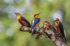 Yellow-fronted Woodpecker (Melanerpes flavifrons) aka Benedito-de-testa-amarela