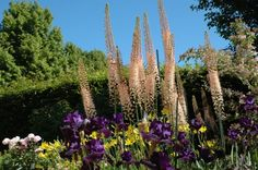 Блистательный Эремурус, или Ширяш  В Германии эремурус называют степной свечой, в Англии и некоторых других странах - иглами Клеопатры, а в Азии - ширяш, или шрыш. Гигантские нежно-оранжевые свечи, словно сказочные великаны, возвышаются над остальными растениями, придавая цветнику диковинный вид.