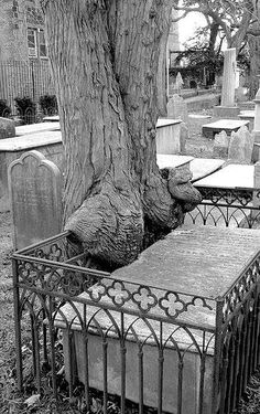 It's no wonder people make up stories about trees coming to life to gobble up humans. When a tree starts creeping over fences to get at tombs, the imagination is sure to run wild.