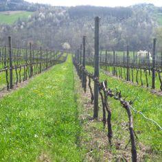 Vigna della Pieve a Cocconato in marzo.