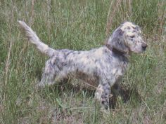 Have to love em.. Llewellin Setters lovable, loyal, bird hunting machines.